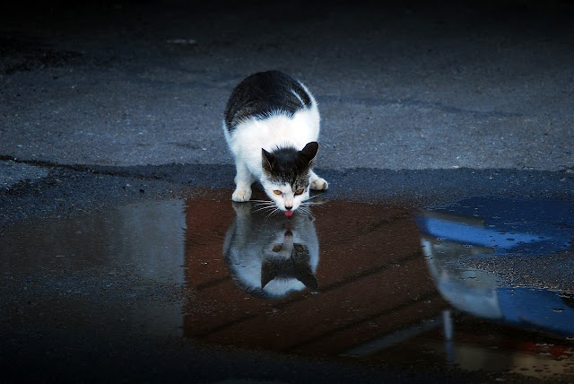 Mythes des chats et l'eau