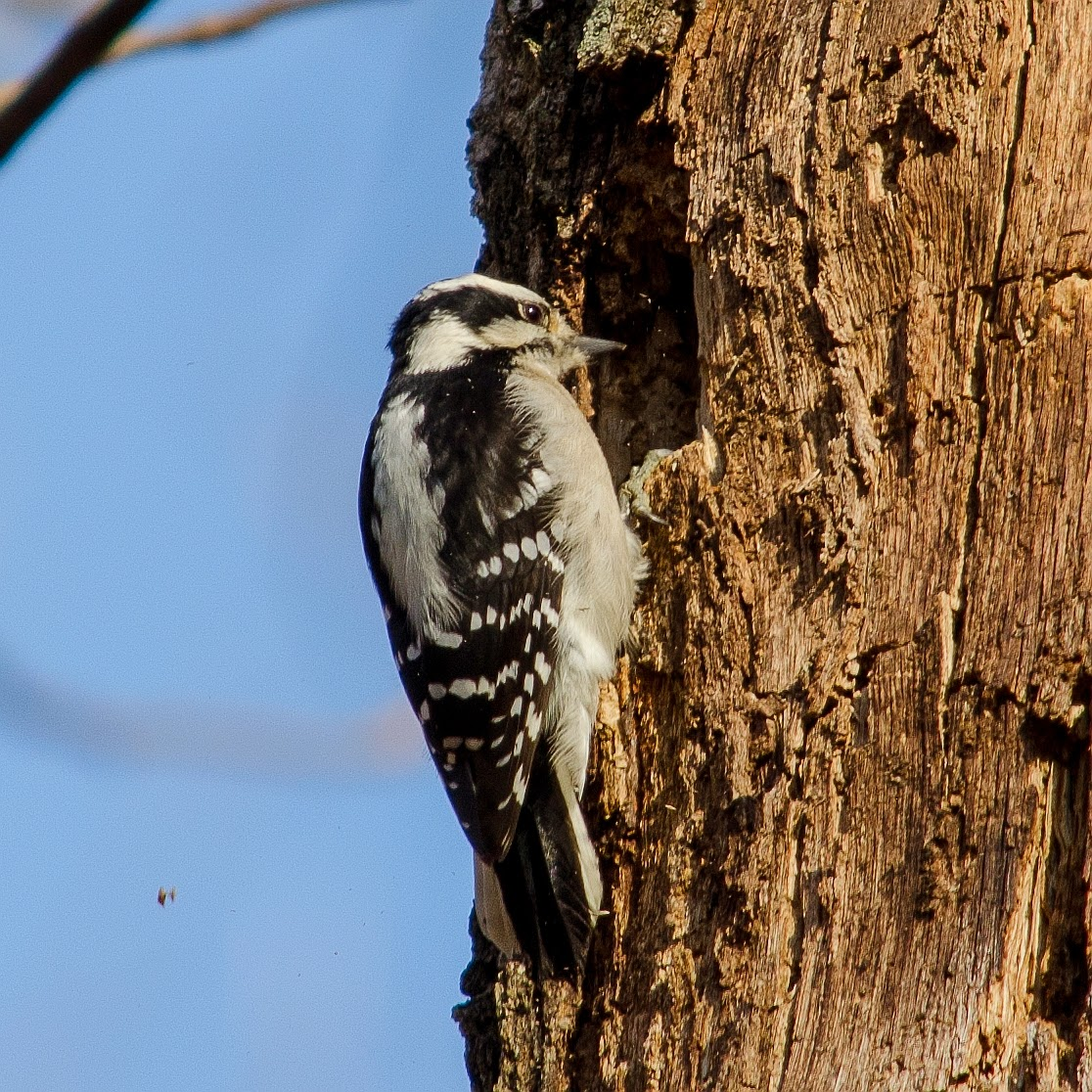 Downy Woodpecker Excavating