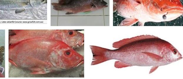 6 Cara Budidaya Ikan Kakap yang Berhasil dan Menguntungkan