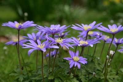 Anemone blanda - blue shades