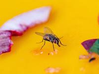 5 Cara Ampuh Menjauhkan Lalat