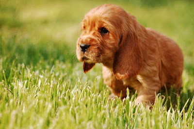 Small Dog Breeds In India