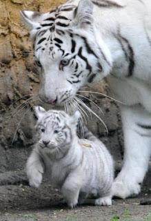 Tigre Blanco madre e hijo