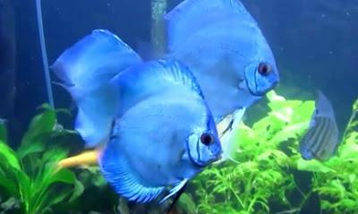 Harga Ikan Discus Angel Blue Diamond