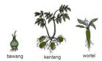 Tumbuhan yang berkembang biak dengan umbi