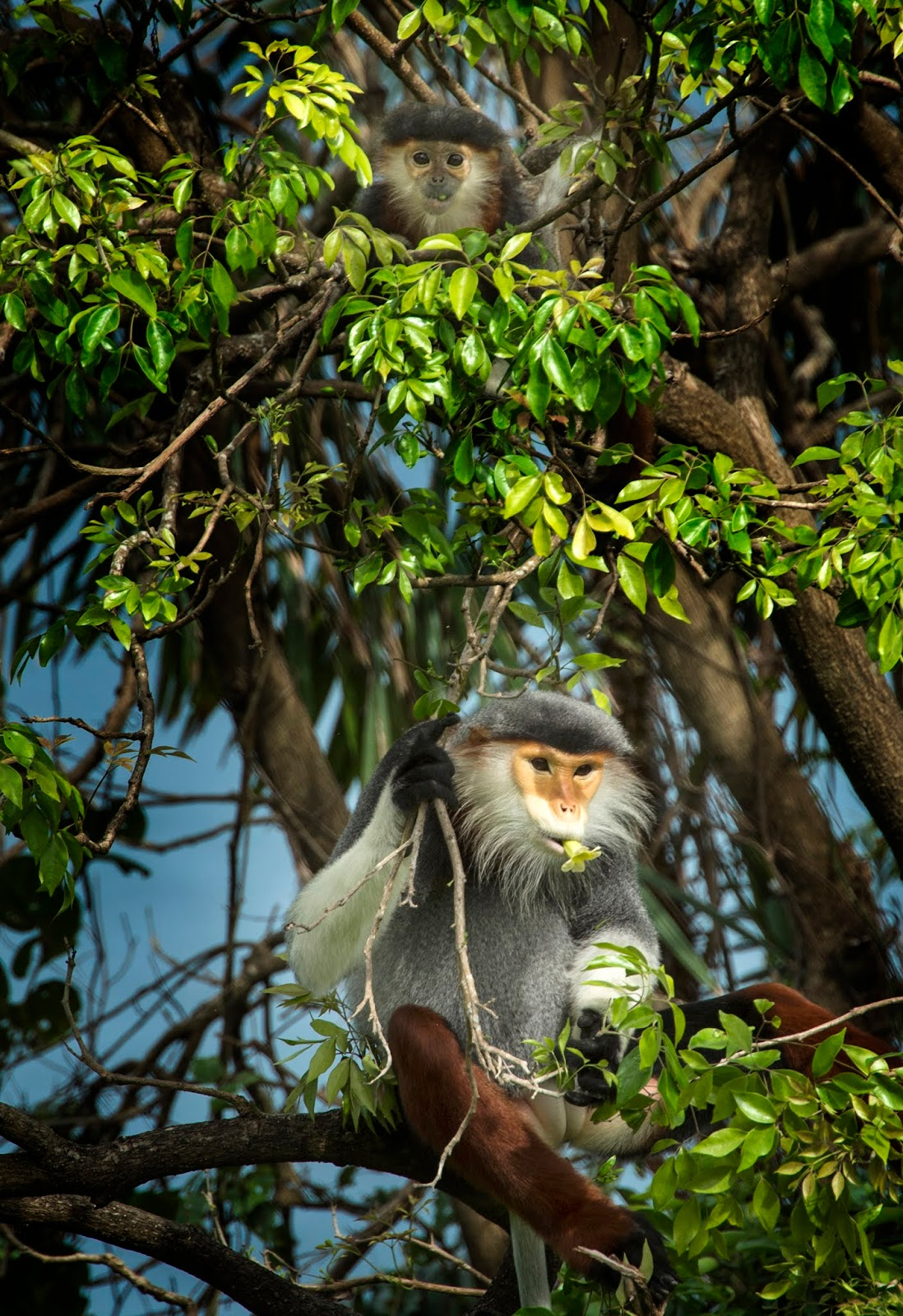Watching the flock of hundreds of langurs