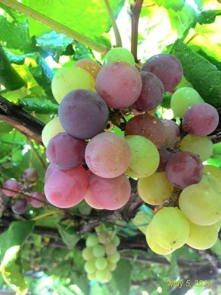 1paket Bibit buah anggur 3btg Jawa Barat