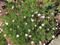 Cosmos-like flowers, Mona Vale Garden - Christchurch, New Zealand