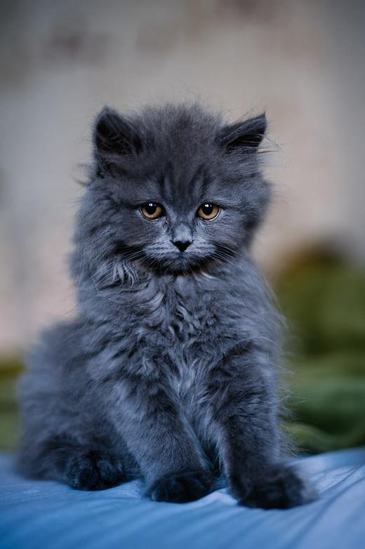 британский котенок Купер
