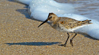 Dunlin, adult in winter plumage, Sandy Hook, NJ - Nov. 2014, by Spinusnet