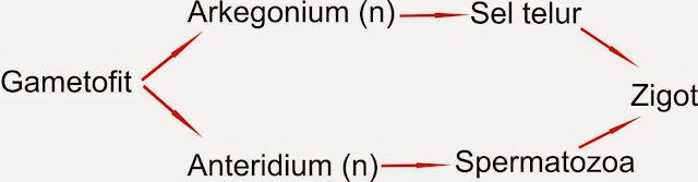 image: daur hidup Hepaticae