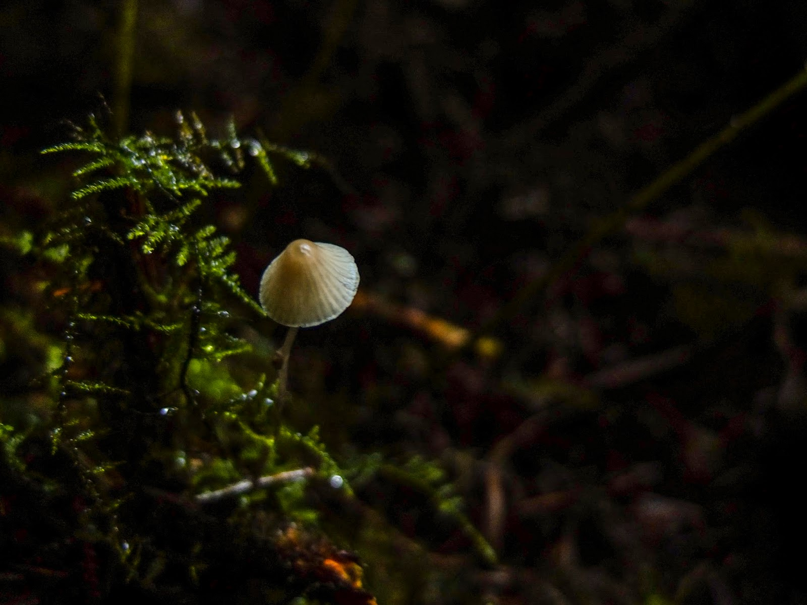 A tiny mushroom growing on a forest floor among moss.