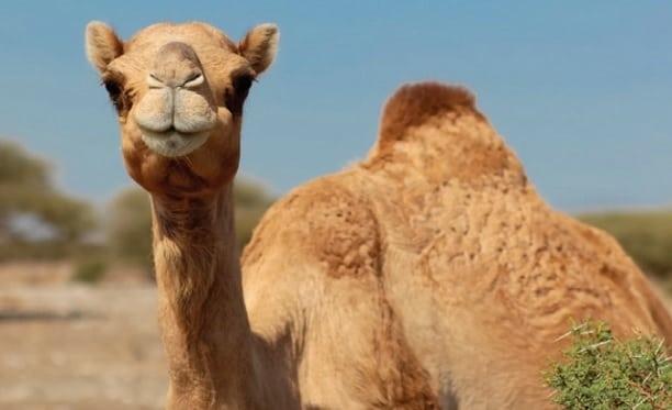 Rüyada deve görmek ne demek? rüyada deveye binmek, Rüyada deve görmenin anlamı nedir? rüyada görülen deve psikolojik yorumu, rüyada deve sürüsü görmek.