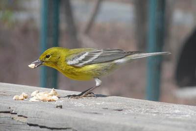Photo of Pine Warbler on railing