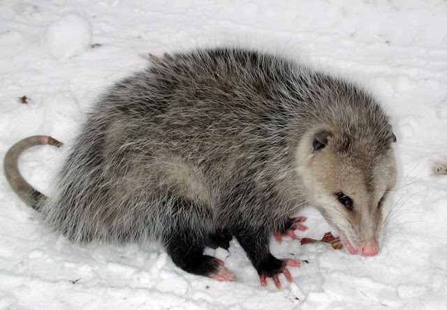 What is Opossum? Facts and information 5