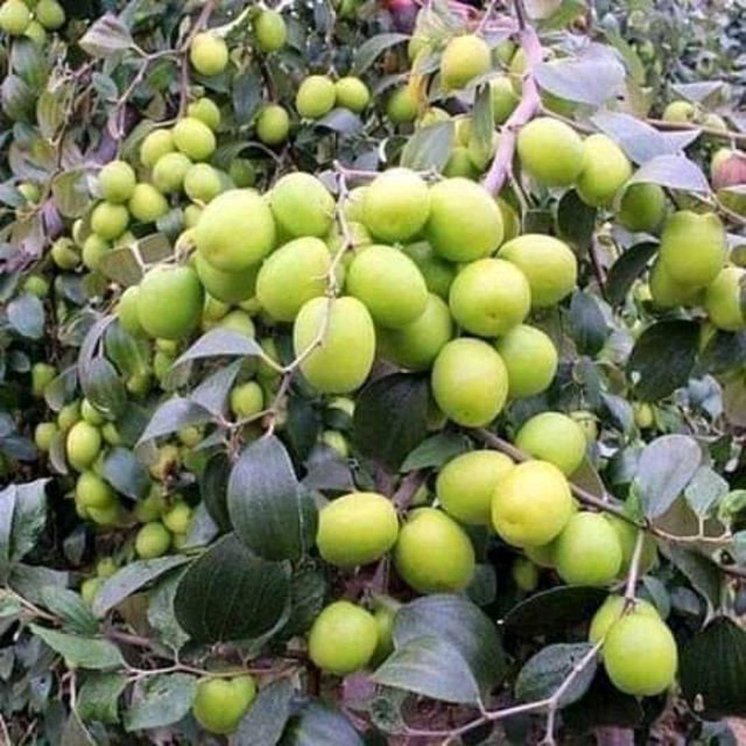 Jaminan Mutu! Bibit apel putsa bisa cod 1 kilo muat 5 siap buah sekarang berbunga Kota Kediri #bibit buah genjah murah