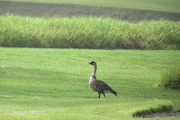 Nene looking up – Volcano Golf Course, Big Island, HI – © Denise Motard
