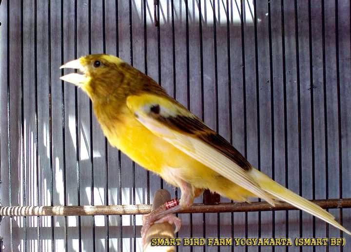 Gosend ok jual burung kenari kuning jamin jantan bunyi ngeriwik ring trah juara. Kumpulan Foto Burung Kenari Lizard Jantan ~ FOTO BURUNG KICAU