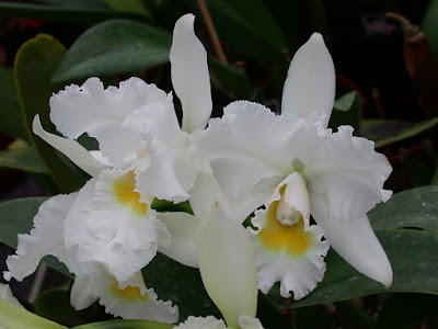 Orquídea Cattleya Queen Sirikhit 'Diamond Crown'