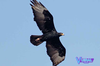 Contoh Hewan Aves - Burung Elang Verreaux