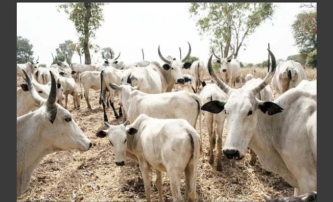 ROAMING COWS STORM MARKET KILL 10 PEOPLE | CABLE REPORTER
