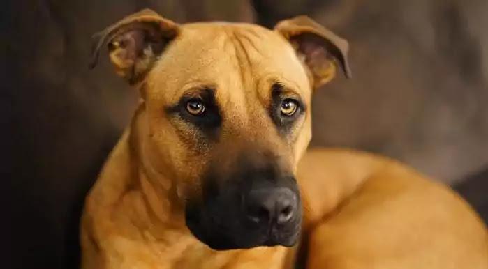 Black Mouth Cur Dog Breed