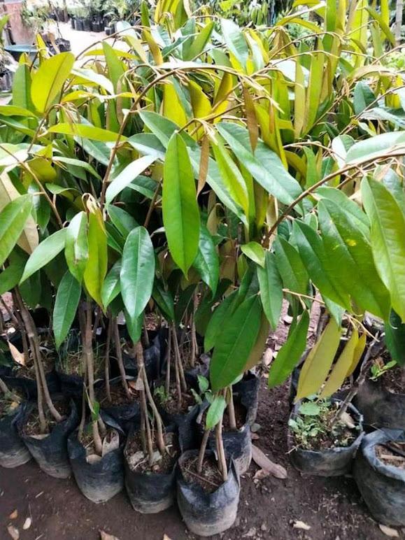 bibit durian bawor kaki 3 hasil okulasi bisa berbuah didalam pot Sumatra Utara