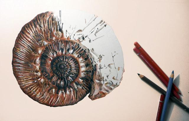Début du dessin d'une ammonite du muséum de Grenoble