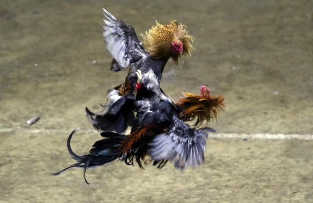 Xem Trực Tiếp Đá gà Philippin