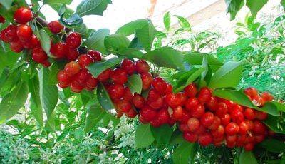 Foto de la planta de cerezas