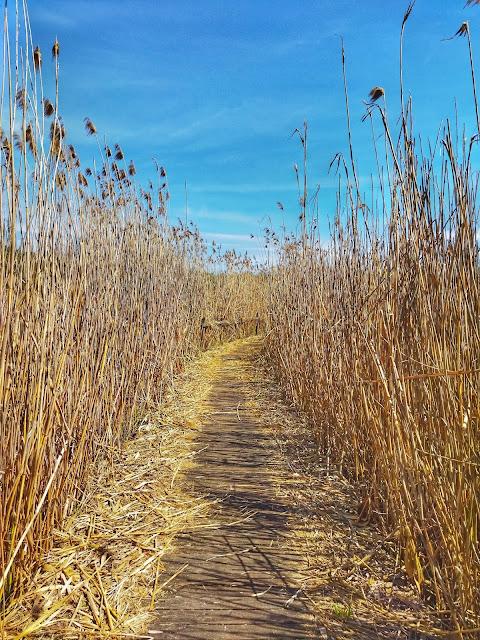 spacer w trzcinie po stawach w Arboretum w Stradomii