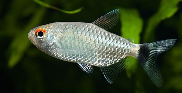 Red Eye Tetra - Cara Budidaya Ikan
