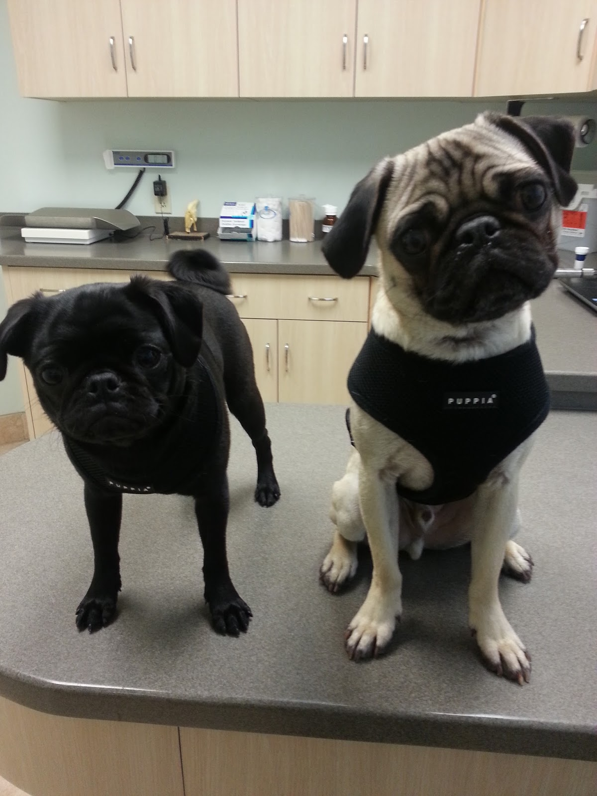two spoiled pugs: pollen allergy part 2