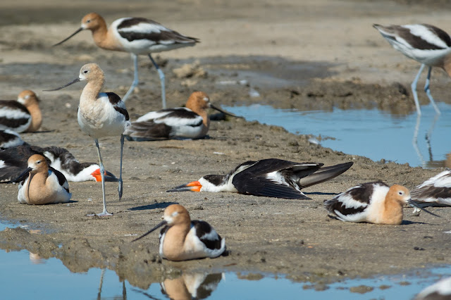 Black Skimmers and American Avocets, Rollover Pass