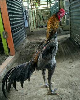 Cara memilih ayam bangkok yang bagus tarungnya