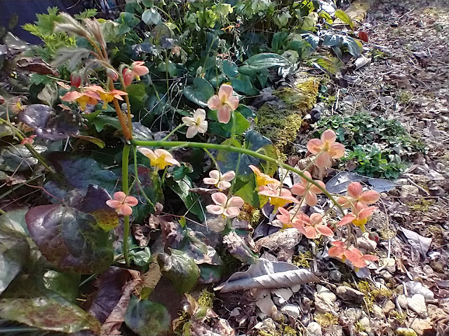 Epimedium 'Amber Queen' arches nicely across the gravel path