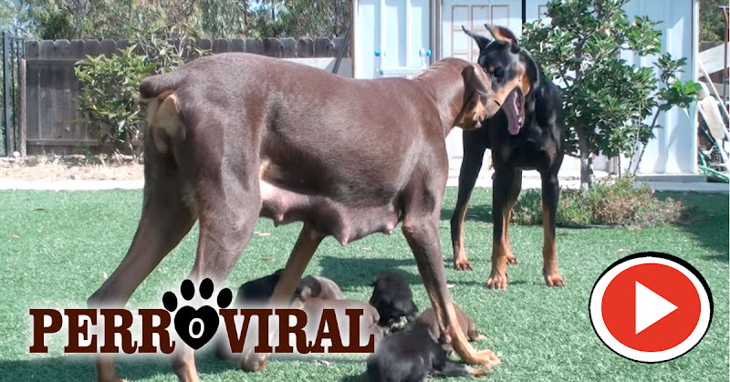 Estos videos demuestran que los perros son los mejores guardianes