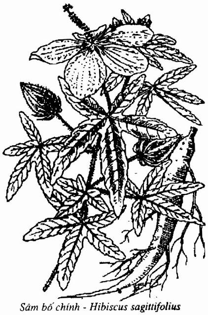 HÌNH VẼ SÂM BỐ CHÍNH - Hibiscus sagittifolius - Nguyên liệu làm Thuốc Bổ, Thuốc Bồi Dưỡng