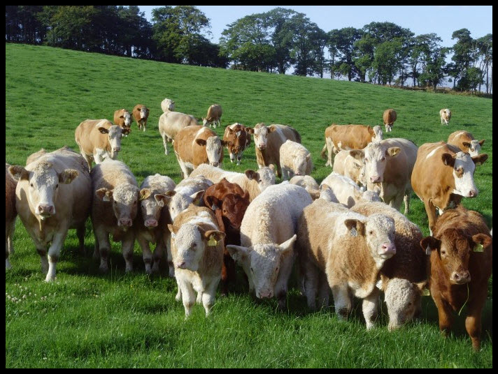 S T R A V A G A N Z A Cattle Breeds And Genetics An Overview