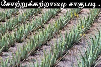 aloevera_plantation_part2