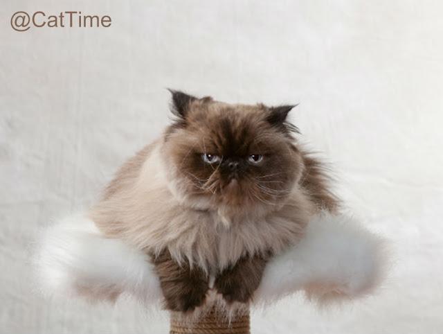 Kucing Himalaya Lucu