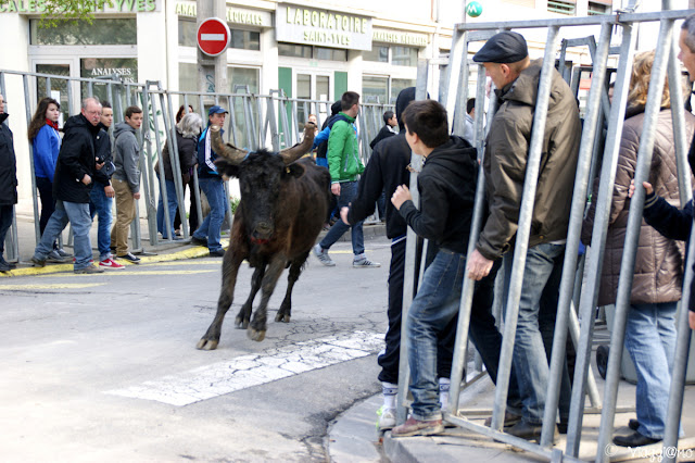 Momento della corsa dei tori, spettacolo non cruento
