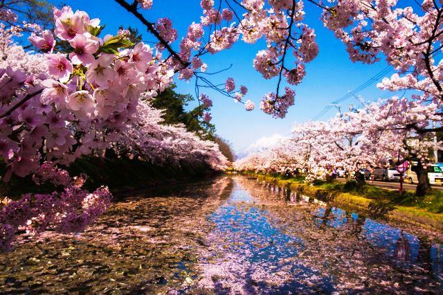 Parque Hirosaki se transforma com a floração da sakura zulazhar/Shutterstock.com