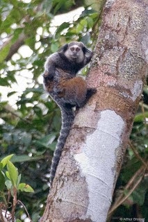 Wied´s black tufted ear Marmoset