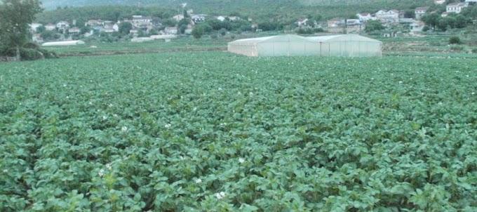 NIJE DOBRO: Krumpiri iz Vojnića cijene se 2 KM