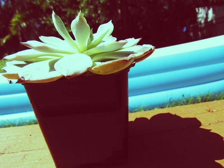 Cute succulent planter in a backyard by the pool in sunny, tropical Florida