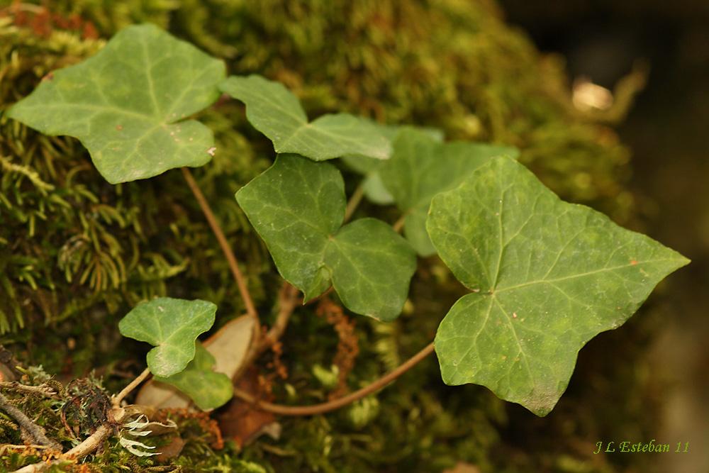 Illora Natural: HIEDRA (Hedera Helix
