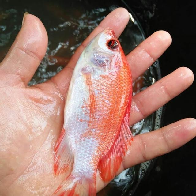 Suppplier Ikan Nila Jogja