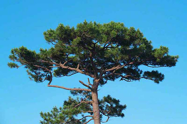 pine, tree, nature, Okinawa