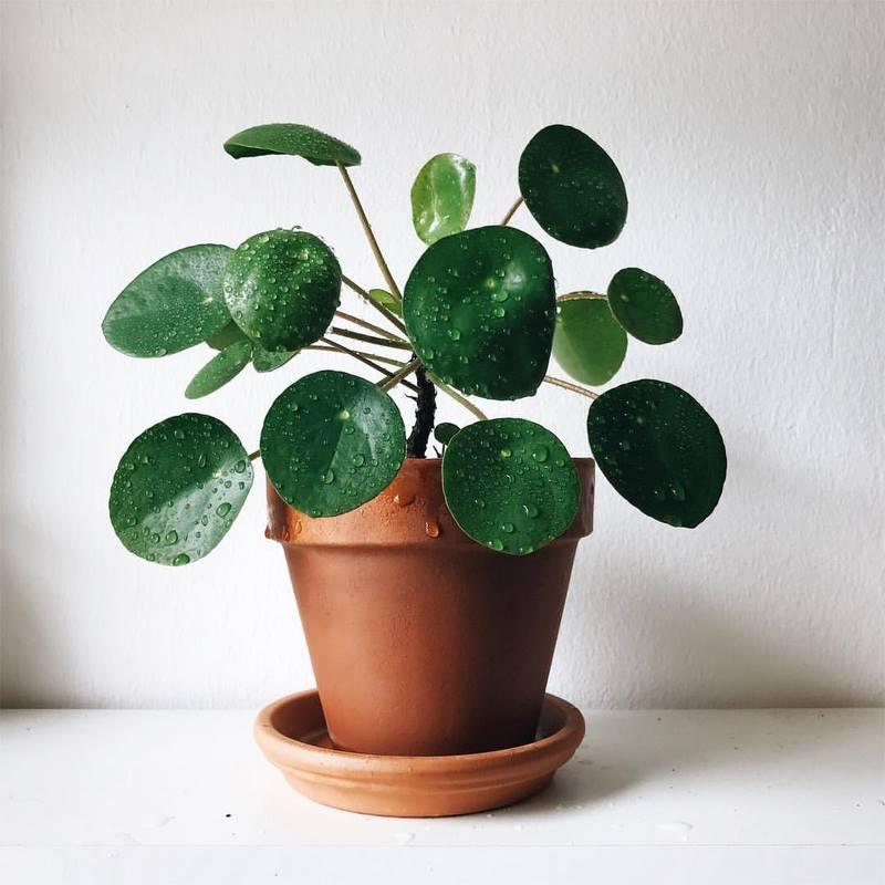 hojas verdes brillantes de pilea peperomioides en maceta de barro